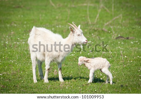 Summer landscape with a goat and kid