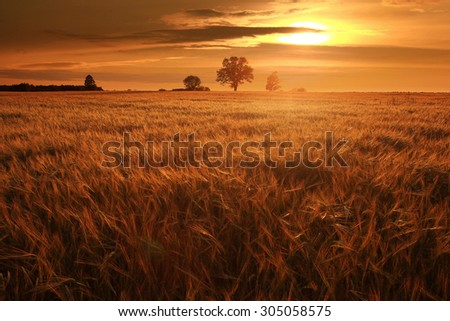 summer landscape with a lone tree at sunset barley field in the village