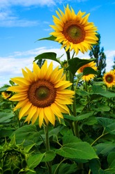 Summer landscape with blooming sunflowers