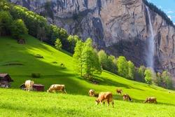 Summer landscape with cow grazing on fresh green mountain pastures.  Lauterbrunnen, Switzerland, Europe.