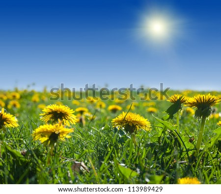 Summer landscape with dandelion meadow in sunny summer day