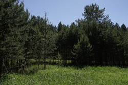 Summer landscape with pine forest. Pine tree.