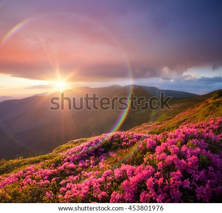 Summer landscape with pink flowers in mountains. Blooming Rhododendron on the slopes. Beautiful sunset with sunbeams. Circular rainbow. Karpaty, Ukraine, Europe. Art processing of photos. Color toning