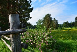 Summer landscape with tree, wooden fence and blossoming flowers of a dogrose.