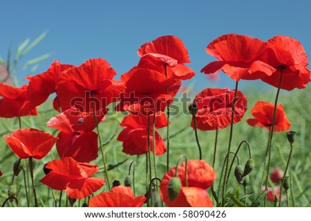 Summer landscape with wheat field and poppies flowers, blue sky