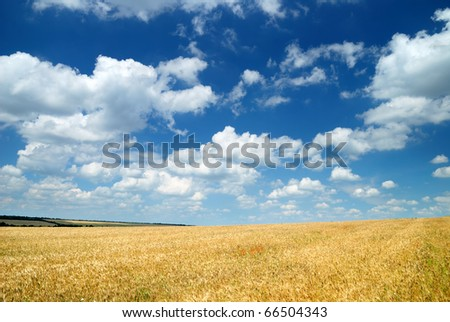 Summer landscape. Yellow wheat field and dark blue sky