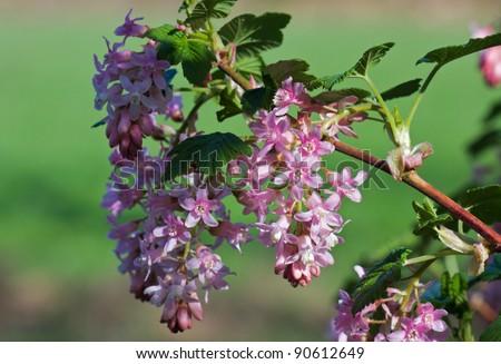 Summer lilac, Butterfly-bush, or Orange eye (Buddleja davidii)