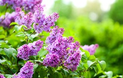 Summer lilac flowers bush branch. Lilac flowers view