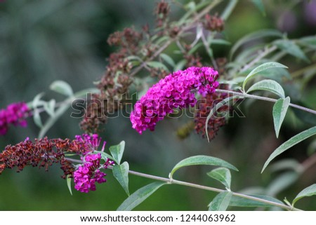 Summer lilac or Buddleia davidii or Butterfly-bush or Orange eye flowering plant with lilac to violet fully open blooming and withered flowers in clusters pyramidal spikes surrounded with long leaves