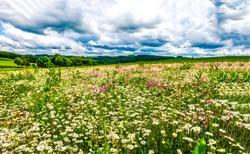 Summer meadow flower landscape.  Medow field grass and daisy flower at summer clouds sky.