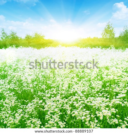 Summer meadow full of daisies in sunlight.