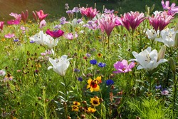 Summer meadow full of white and purple lilies, cornflower and yellow flowers and bathed in the sun.Very beautiful flowering meadow in the middle of summer.