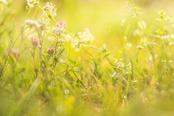 Summer meadow, green grass field and wildflowers in warm sunlight, soft focus, warm pastel tones. Abstract nature background concept, bokeh, selective focus.