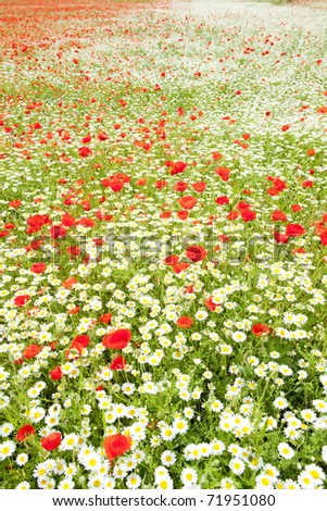 summer meadow in blossom