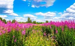 Summer meadow pink flowers view. Pink flowers meadow. Summer pink flowers meadow view