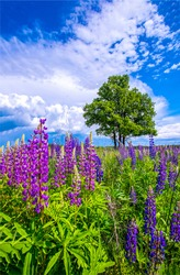 Summer meadow purple flowers view. Meadow flowers in summer scene