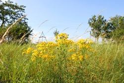 Summer meadow. Senecio jacobea yellow flowers