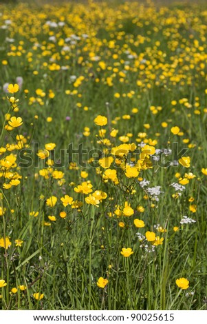Summer meadow with blooming Meadow Buttercup