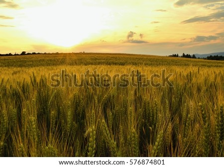 Summer meadows and fields landscape in Slovakia. Cornfield, gold grass and blue sky panorama. #576874801