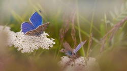 Summer nature background. Common blue butterflies on white yarrow inflorescence in grass environment. Insects life in a wild meadow.