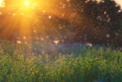 Summer Nature. Landscape meadow at sunset. Transparent columns of midges over tall grass  in front of the sun.  Blurred background.