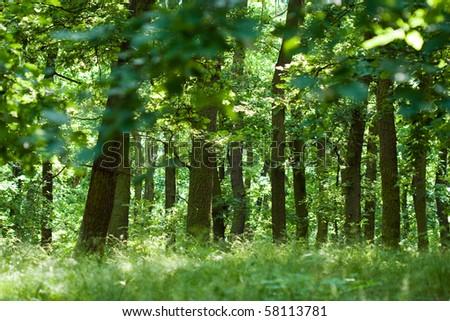Summer oak forest