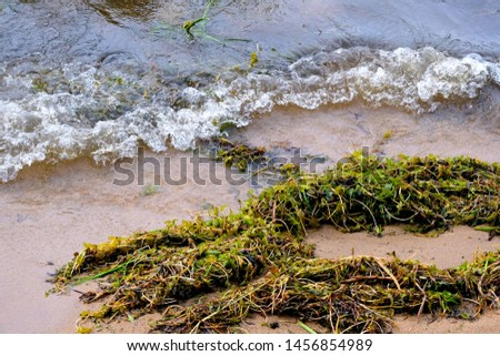 Summer on the southern Baikal in the Russian Buryatia. Waves bring to the shore the masses of dead algae #1456854989