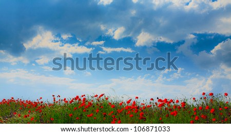 Summer pastel with wild poppy flowers and cumulus clouds