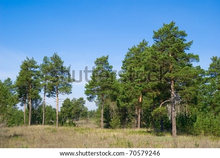 summer pine tree forest - stock photo