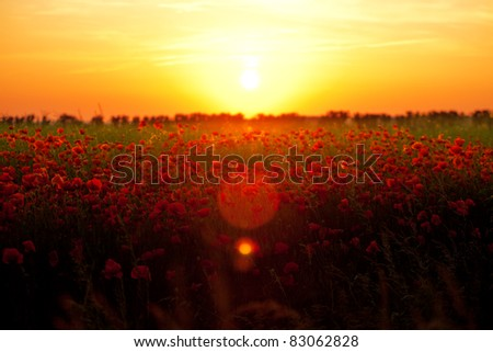 Summer poppies at sunset. A fantastic sunset over a stunning field of poppies in full summer bloom