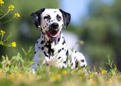 Summer portrait of cute dalmatian dog with black spots. Smiling purebred dalmatian pet from 101 dalmatian movie with funny faces lies outdoors in hot sunny summer time with colorful yellow flowers