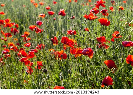 summer red poppies with defects, red poppies in a field with flowers that have begun to wither Zdjęcia stock ©