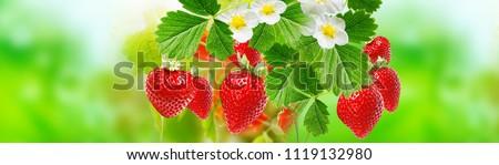 summer ripe strawberries