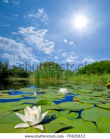 summer river lilies and a sun