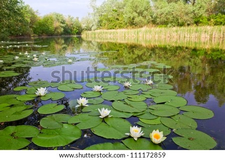 summer river with white lilies