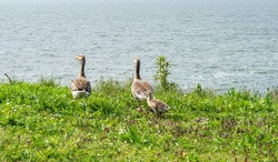 Summer rural landscape with geese in a green meadow. Wild geese with chicks on the coast of the lake in the nature reservation Oostvaardersplassen, Almere, province Flevoland in The Netherlands.