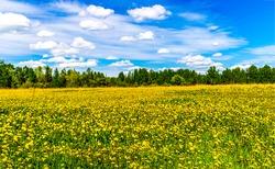 Summer rural meadow flowers landscape