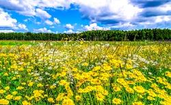 Summer rural meadow flowers landscape. Summer meadow flowers
