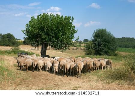 Summer rural scene with flock of sheep, Rhodope mountain, Bulgaria