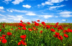 Summer scarlet poppy flowers field. Scarlet poppy flowers meadow. Summer scarlet poppies flowers meadow