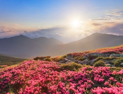 Summer scenery. Beautiful photo of mountain landscape. The lawns are covered by pink rhododendron flowers. Concept of nature rebirth. Blue sky with cloud. Amazing springtime wallpaper background.