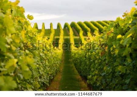 Summer scenery with wineyard rows with unsharp foreground in the evening during golden hour in Rhineland-Palatinate, Germany near the German wine street #1144687679