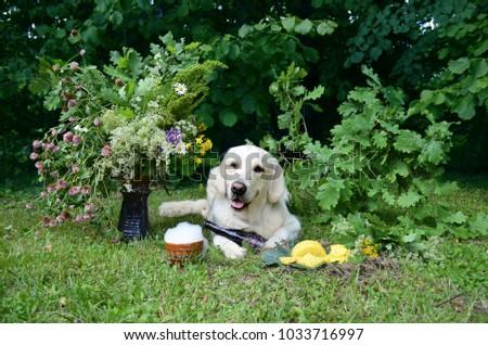 Summer solstice of Latvia composition with Golden Retriever. L?go! Stock fotó ©