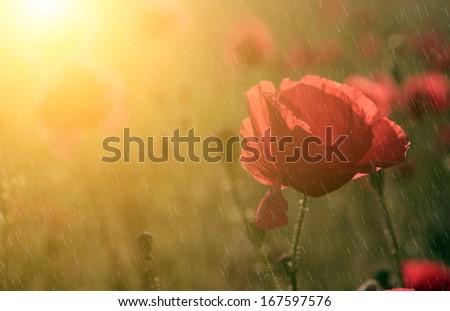 Summer / spring rain and beautiful poppy flower