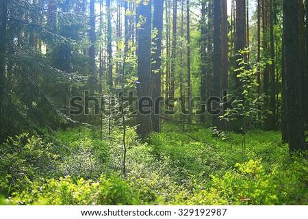 summer spruce forest landscape - stock photo