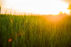 Summer Sun Shining Over Agricultural Landscape Of Green Wheat Field. Young Green Wheat In Sunset Dawn Time. June Month.