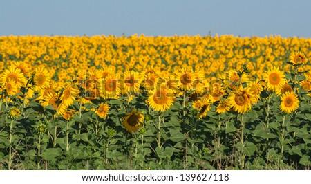 summer sunflower field over cloudy blue sky - stock photo