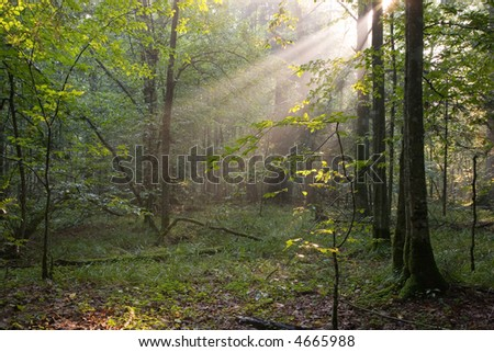 Summer sunrise in forest and golden sun rays