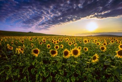 summer sunset scenery, image of wonderful sun flowers,  rural field of yellow sunflowers at evening sundown , blooming  summer flowers outdoor, colorful floral nature photo