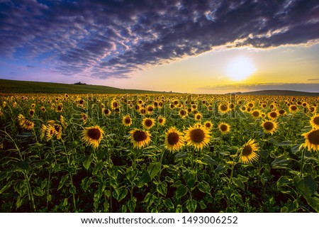 Photo of  summer sunset scenery, image of wonderful sun flowers,  summer rural field of yellow sunflowers at evening sundown , blooming  summer flowers outdoor scenery , colorful floral nature photo